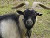 Degradan a una cabra